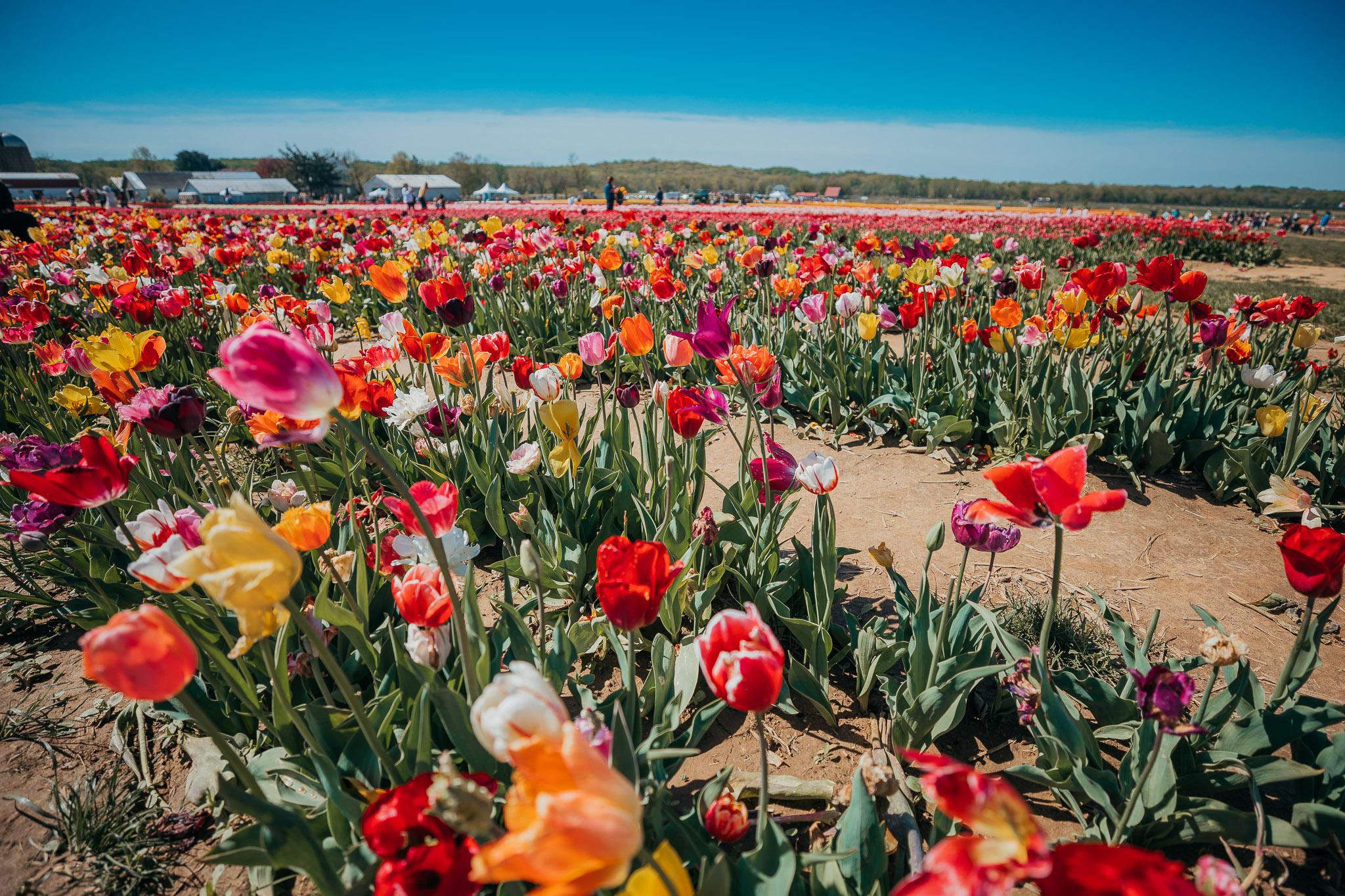 Tulips-4831.jpg