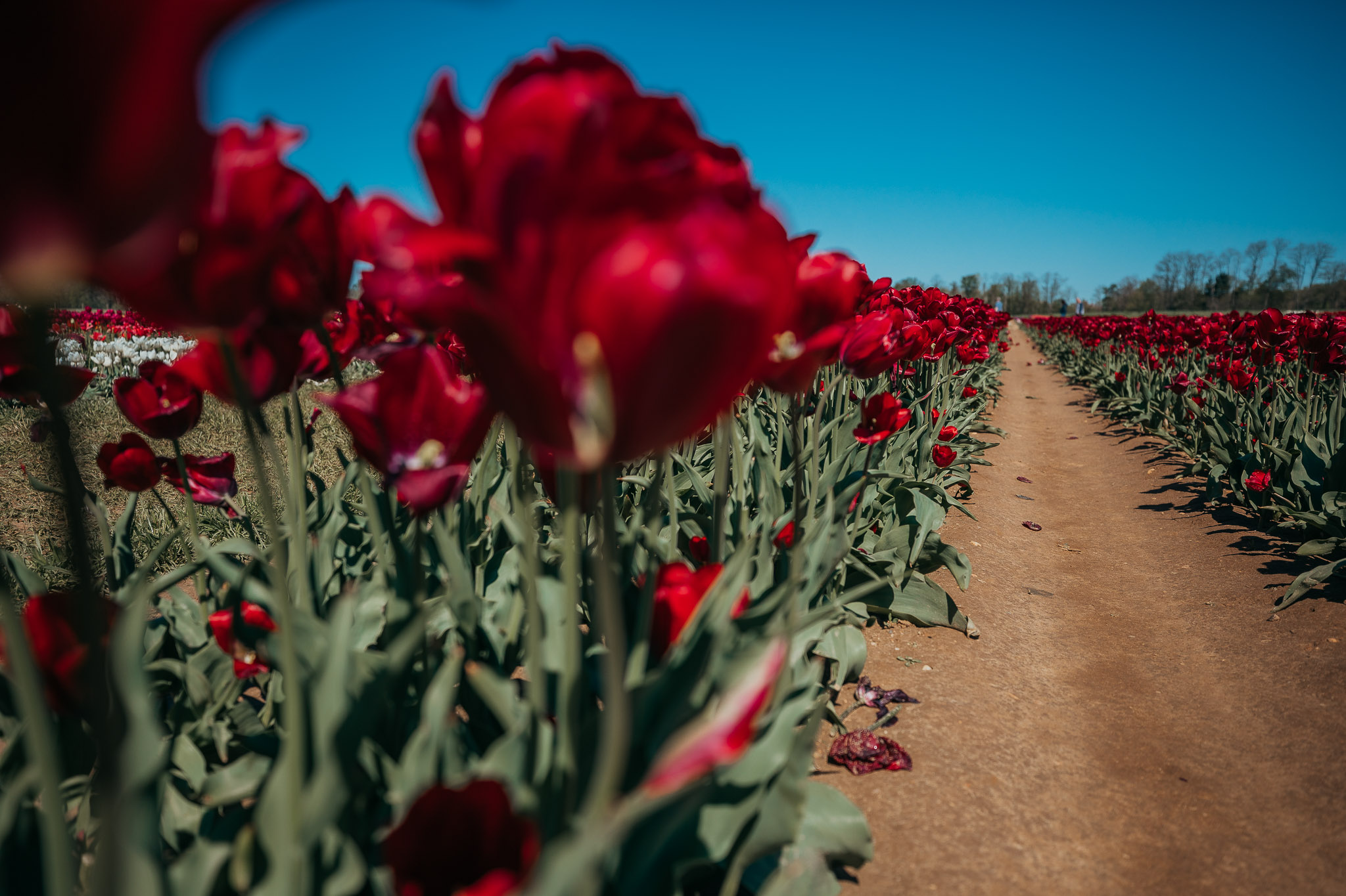 Tulips-4850.jpg