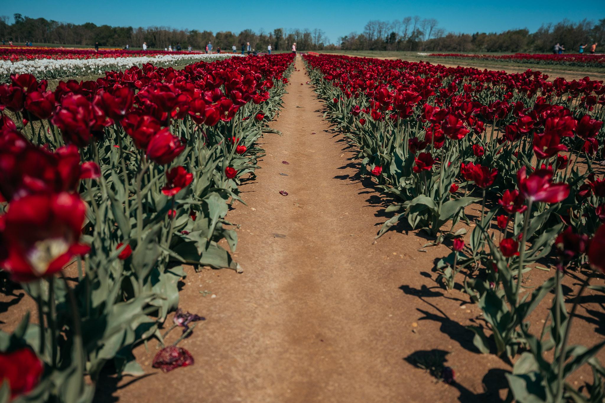 Tulips-4855.jpg