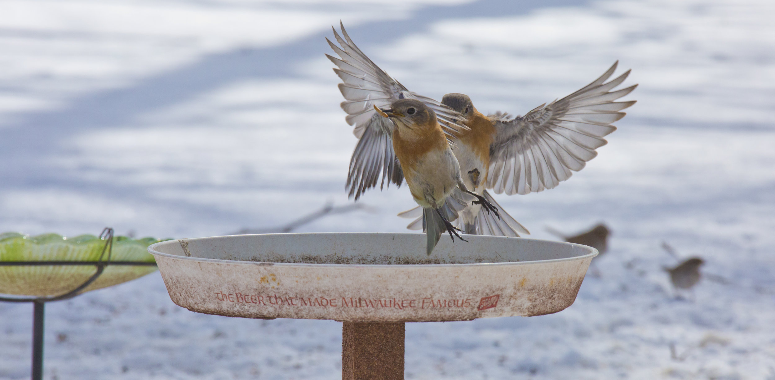 I snapped these female Eastern Bluebirds one winter, a couple years back. Was a planned shoot. Bluebirds had been in the yard for a while longer this winter. Set up my DSLR on a tripod, filled this dish with their favorite snack - mealworms, returned to the camera in time to rapid fire a sequence of photos; this was one. One of my favorites.  Take off and Landing.