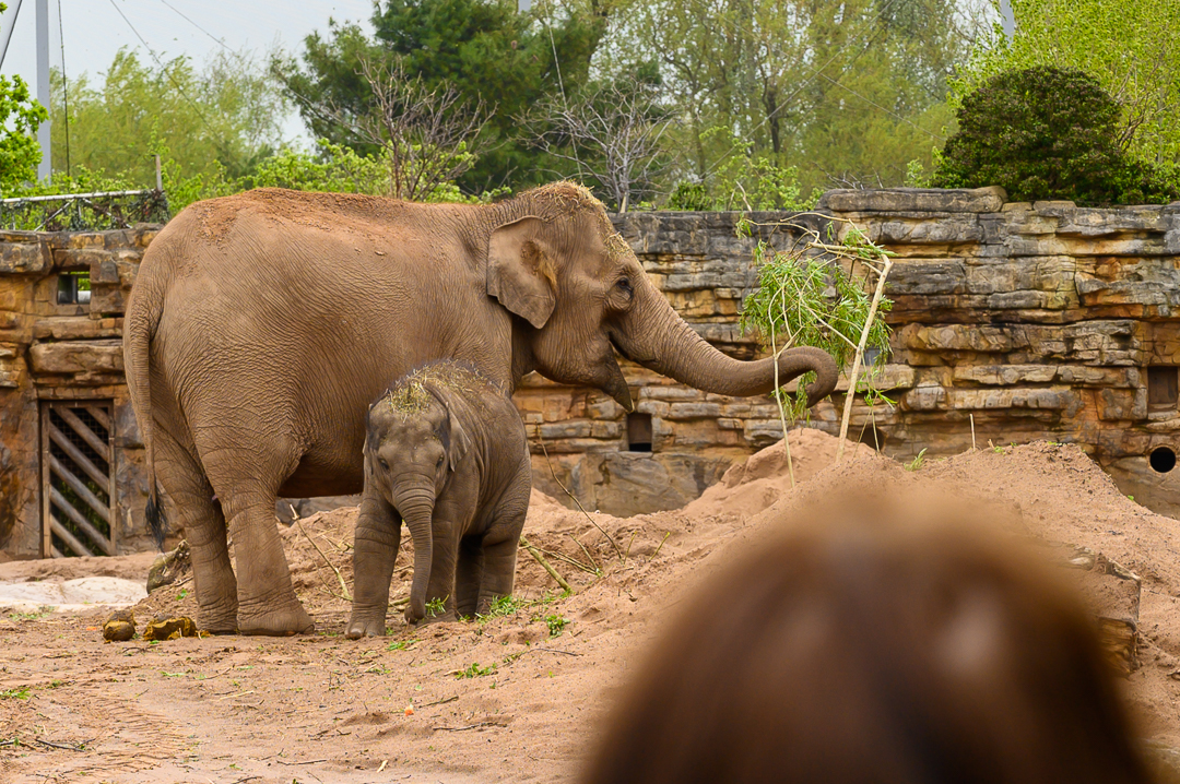 Asian Elephants - Mum and daughter