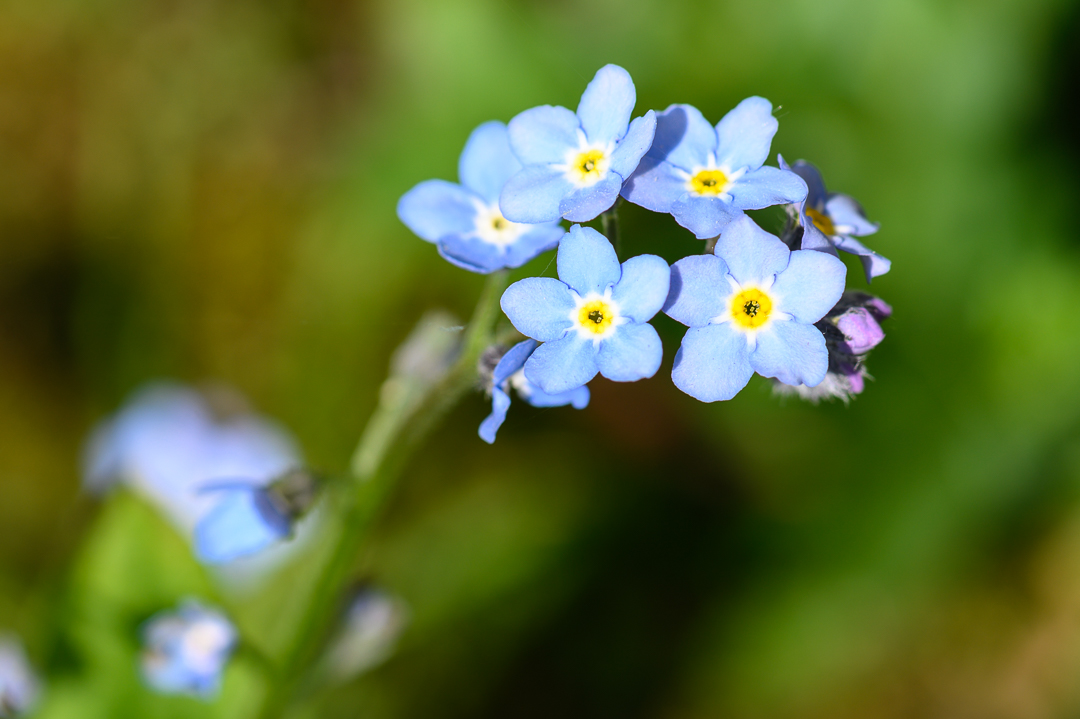 Forget me nots in the garden