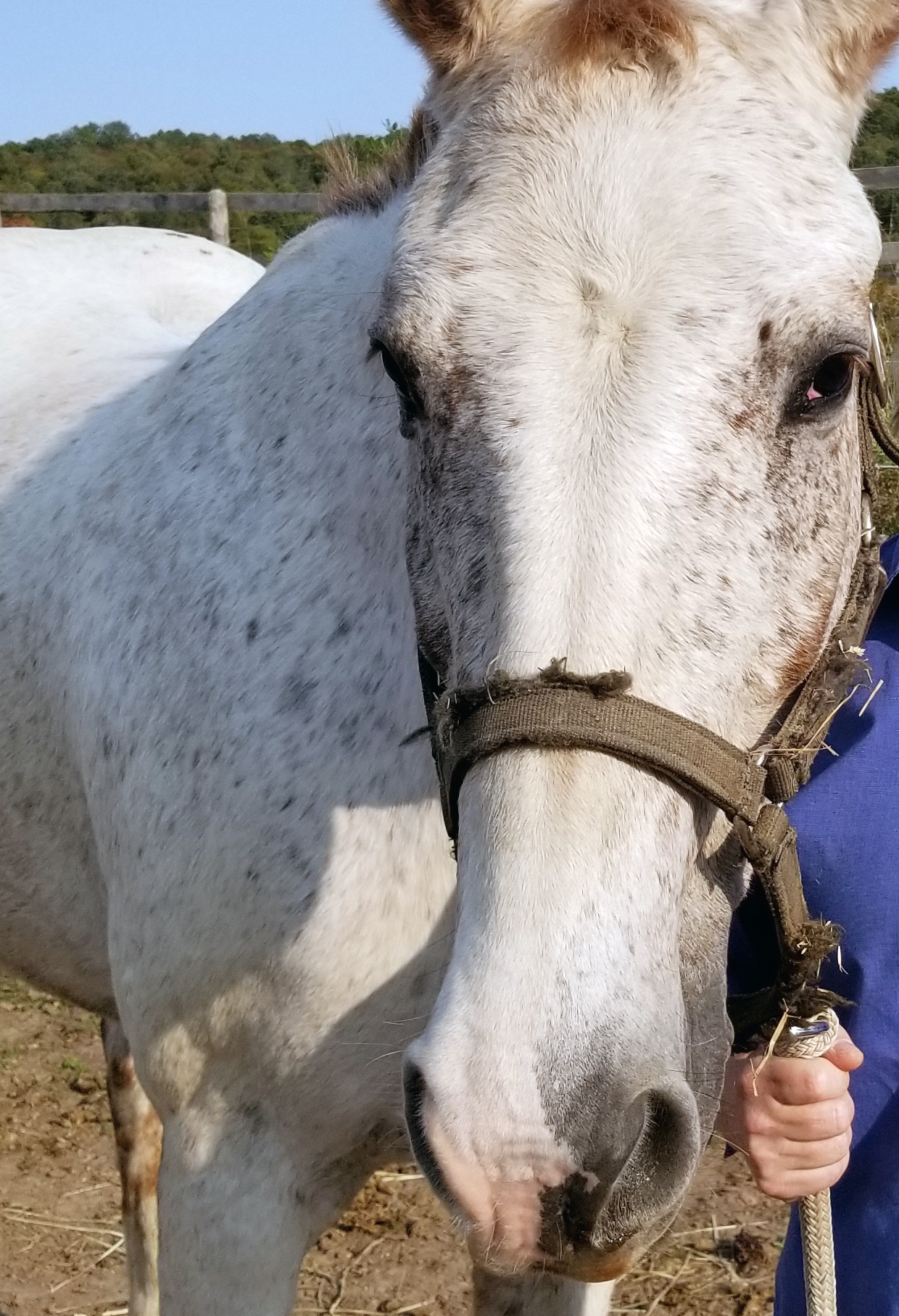 PRESTO - Presto is a kind Appaloosa who is also a teacher and life coach with Partnering Horses with Humans. Presto helps clients take their power by using their intention to achieve life's goals. Presto is extremely sensitive and offers clients a safe haven to work through depression and release what is holding them back.