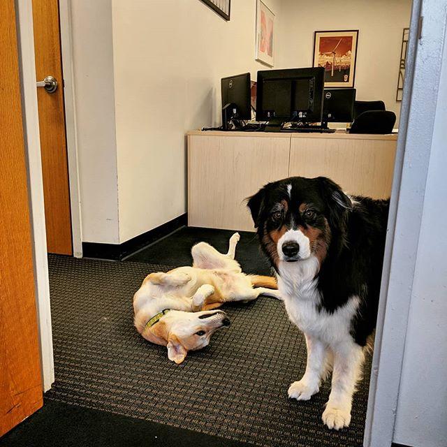 Some of the older employees tend to work harder than the interns. .. #taxseason #complaintsdept #dogsofinstagram  #officedogs #dogsoftheday #dogsofnyc #uws #uwsdog #dogs #buzzfeeddogs #dogstagram #accounting #cpa #nycofficedogs #nyc #marketingdog #dogoftheuws #centralparkpaws #dogsofig #dogsofinsta #dogloversfeed #doglovers #doglove #upperwestside  #barks #dog