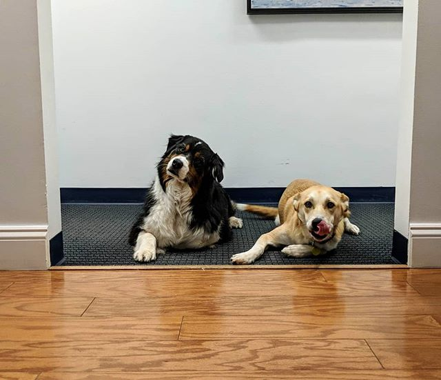 Laila and Norman are psyched and ready to greet all the clients (canine or human) . . . #taxseason #dogsofinstagram #complaintsdept #officedogs #dogsoftheday #dogsofnyc #uws #uwsdog #dogs #buzzfeeddogs #dogstagram #accounting #cpa #nycofficedogs #nyc #marketingdog #dogoftheuws #centralparkpaws #dogsofig #dogsofinsta #dogloversfeed #doglovers #doglove #upperwestside  #barks #dog