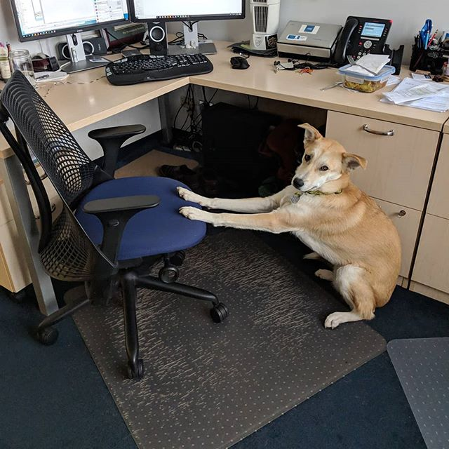 "Norman is getting ready for this home ""stretch"" of tax season.  #complaintsdept . . . #taxseason #dogsofinstagram #officedogs #dogsoftheday #dogsofnyc #uws #uwsdog #dogs #buzzfeeddogs #dogstagram #accounting #cpa #nycofficedogs #nyc #marketingdog #dogoftheuws #centralparkpaws #dogsofig #dogsofinsta #dogloversfeed #doglovers #doglove #upperwestside  #barks #dog"