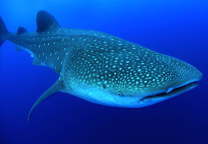 cayuco-reef-divers-whale-shark-750x500.png