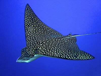 spotted-eagle-ray-400x300.png