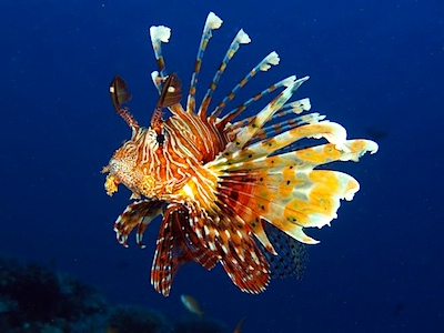 cayuco-reef-divers-lionfish.jpg