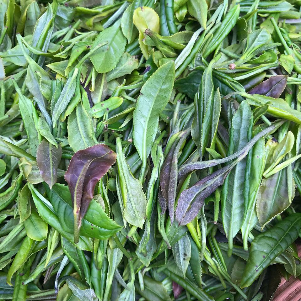 Fresh Tea Leaves from Nannuo Mountain - Photo: West China Tea Company
