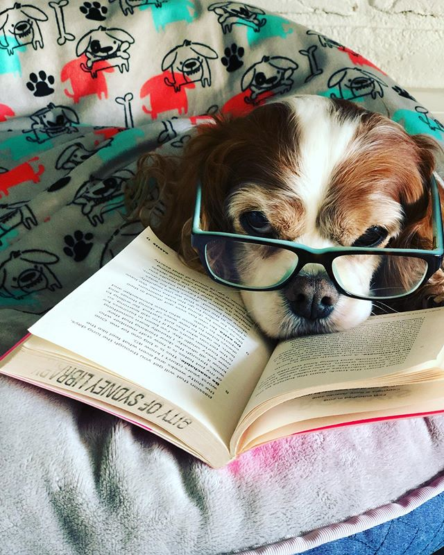 + OFFICE MANAGER // loves to read while I write new content and optimise images for our client's new website. We're almost ready to launch. He's more interested in his bed and book than anything else today. - me? Back to work! . . . . . #dogsofinstagram #dogs #read #book  #glasses #foureyes #tristantales #tristan #lovemyjob #saturday ❤️🌈🎉🍀🎈💥🦋