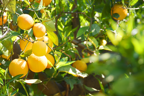 Our zesty lemons start life in the sunny Bay of Islands.