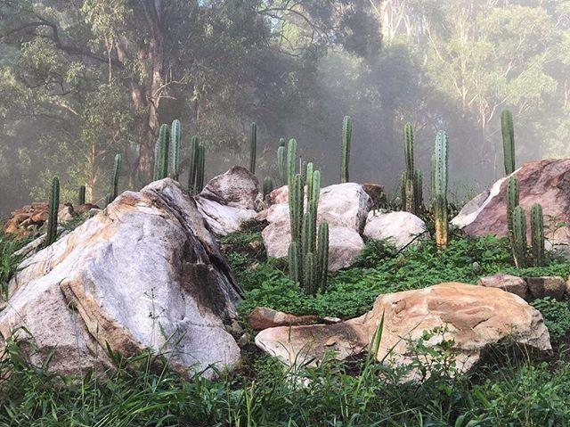 Mystical cactus in aussie bush . . #trichocereus #dreamgarden Not my photo