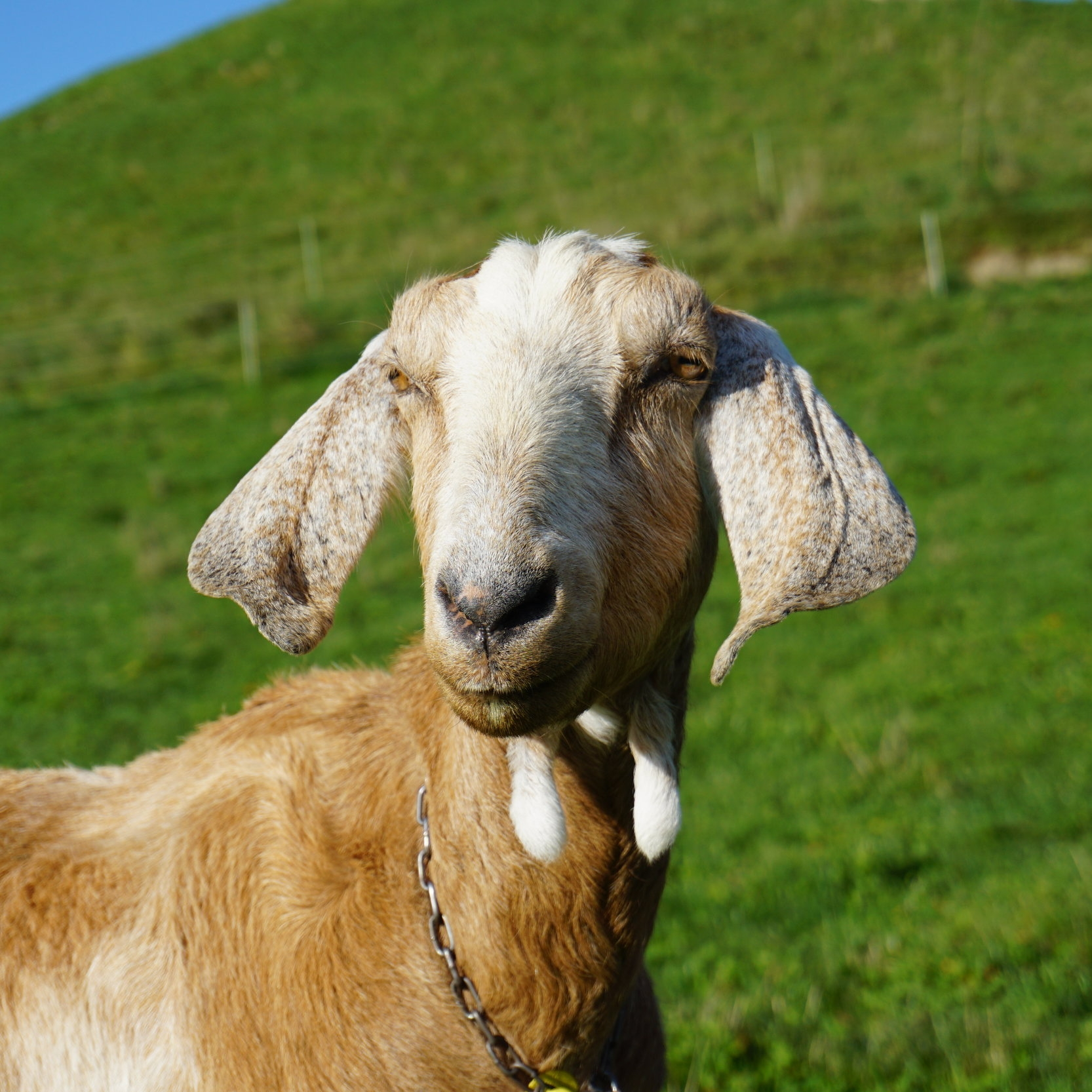 Jacinda   COG - Chief Operating Goat