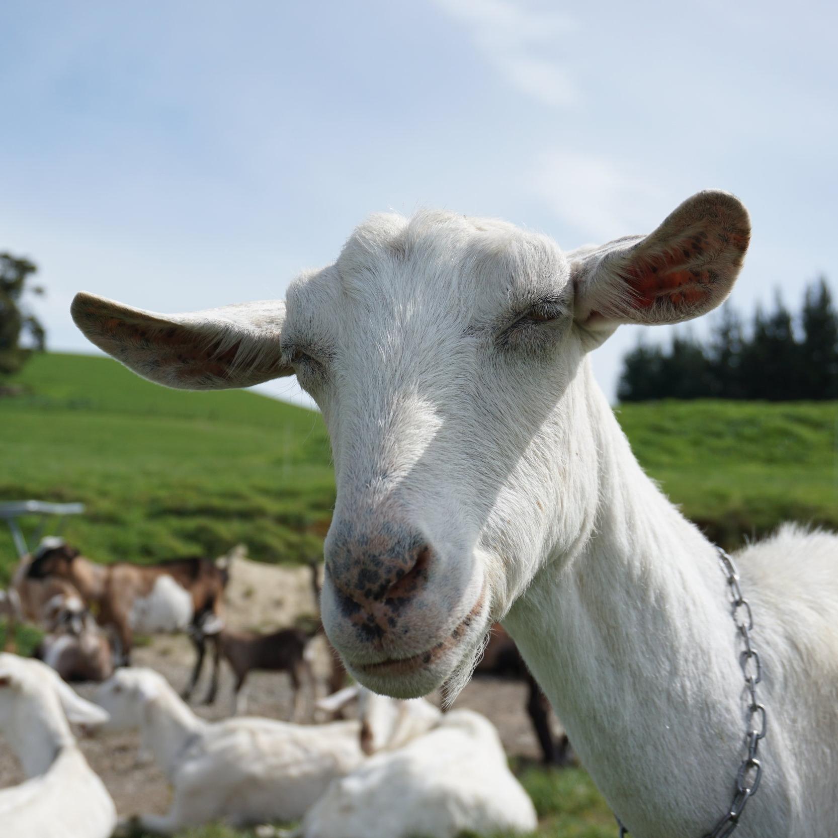Ellie   CMG - Chief Milking Goat