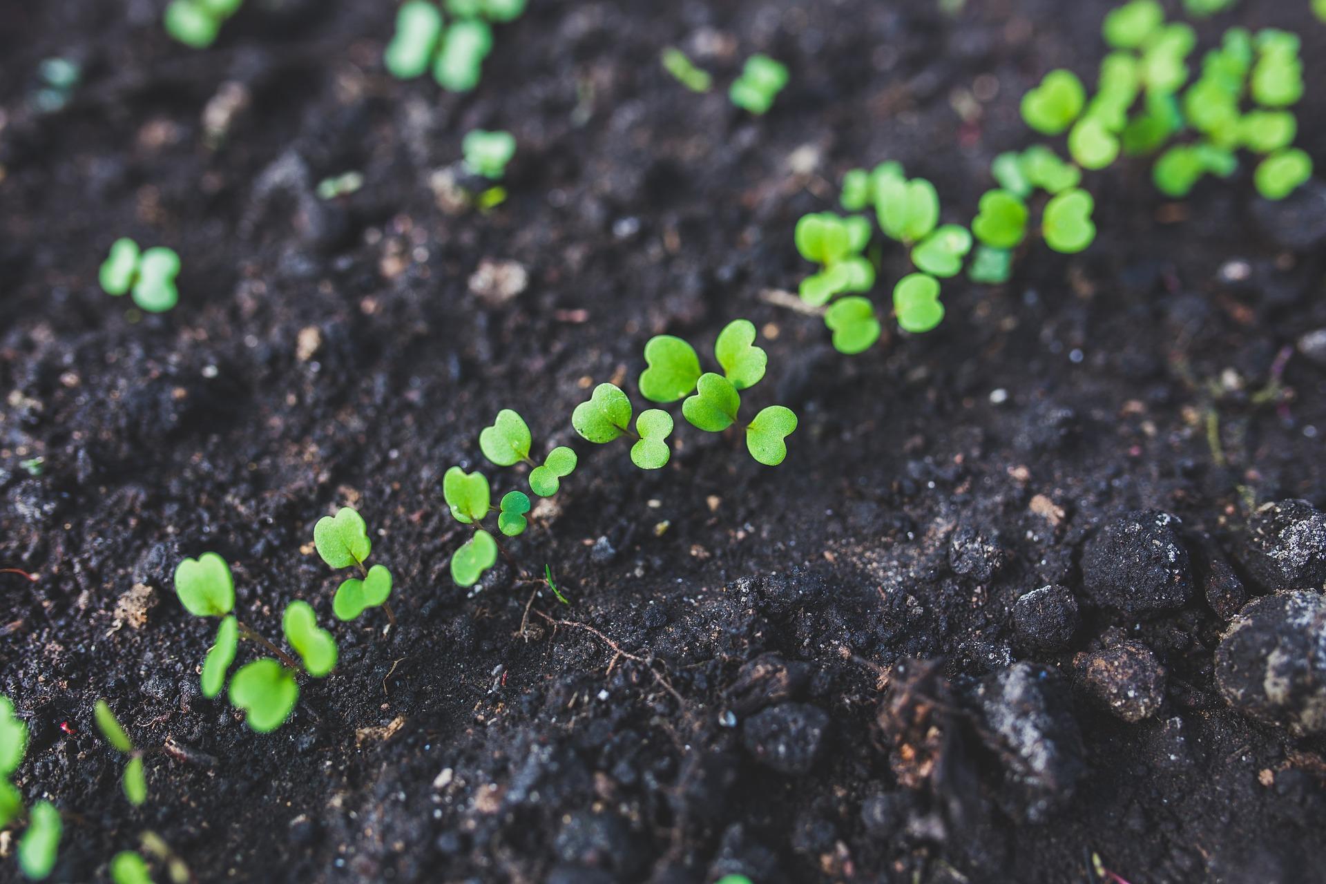 arugula sprouting.jpg
