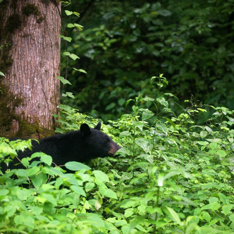 Not the greatest shot, yet a wonderful memory of one of the many bears I encountered in Great Smoky Mountains National Park recently.   -And, so sorry about the long absence once again and the neglectful ways that resulted. I will try & make it up to all of you that continue to comment & write..promise! If interested, it appears I post more frequently here:  kristenwanderluster.tumblr.com/  here:  as-the-stars-align.deviantart.com/  and here:  www.facebook.com/KWoodPhotography  these days.  I look forward to catching up on some beautiful photostreams...hope everyone is well...