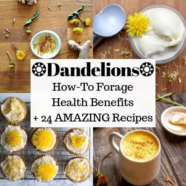 24 Dandelion Recipes + Health Benefits + Foraging Tips - Gluten-free, vegan, vegetarian dandelion recipes + nutritional information + how to forage dandelions! #dandelions #dandelion #dandelionrecipes #springrecipes #foraging #wildcrafted #foraged #glutenfreevegan
