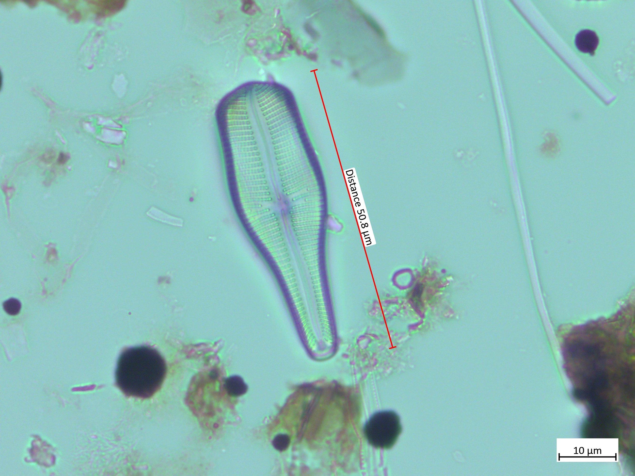 Gomphonema truncatum