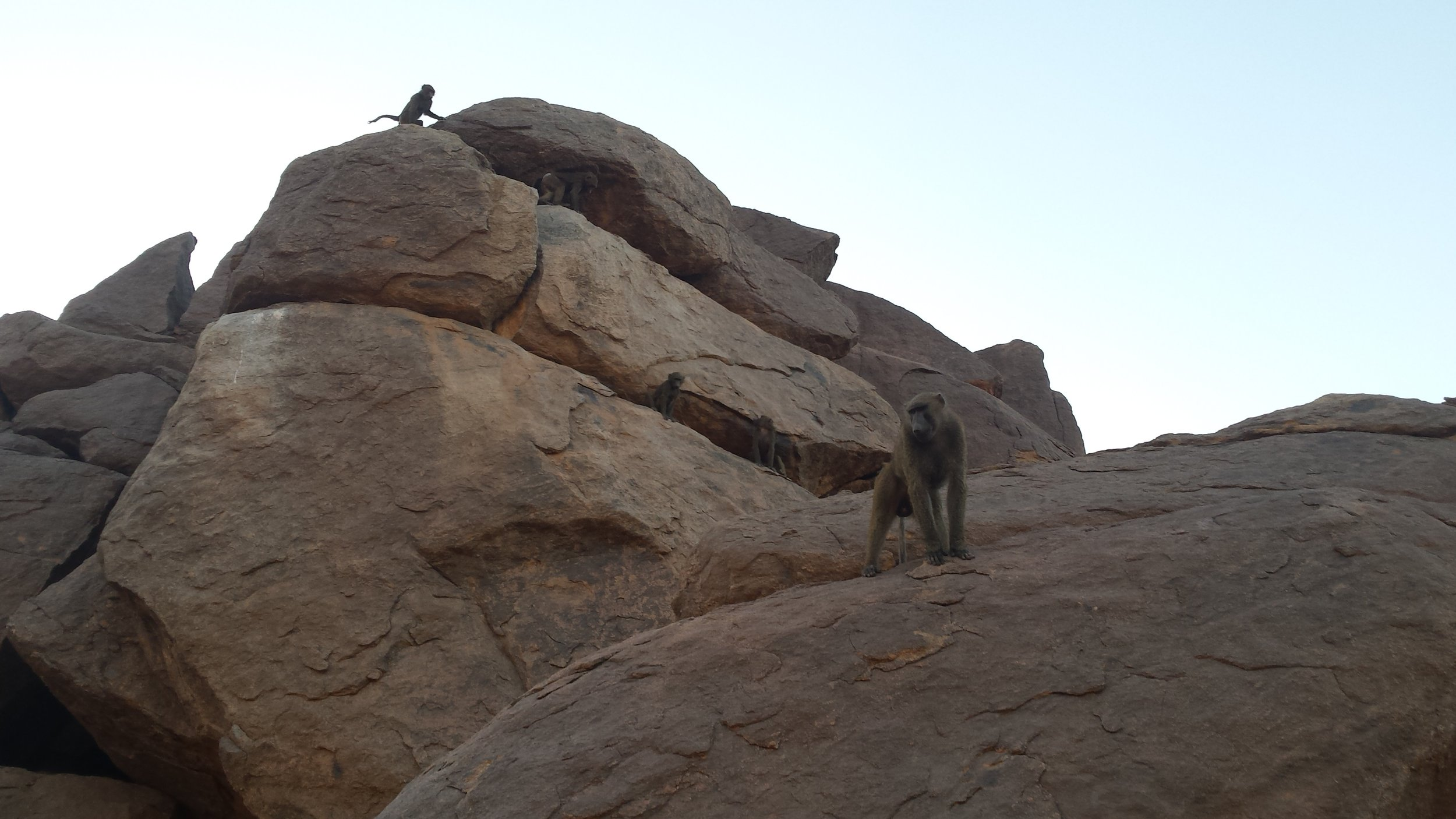 Some fearless baboons on the Taka Mountains.