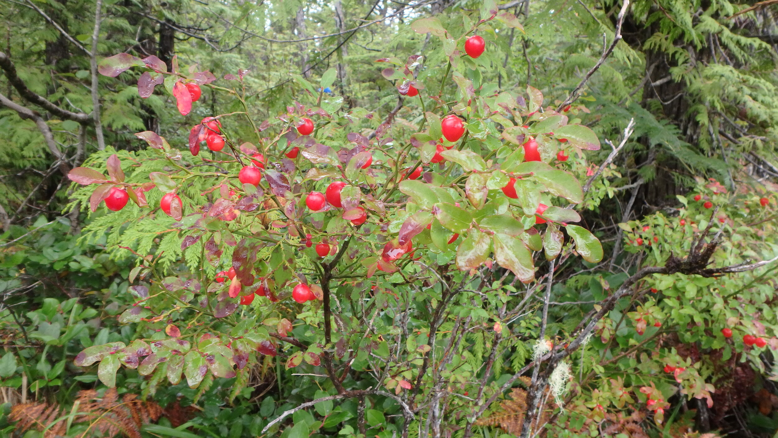 The huckleberries on the islands are the largest I have ever seen — on this bush they were the size of grapes!