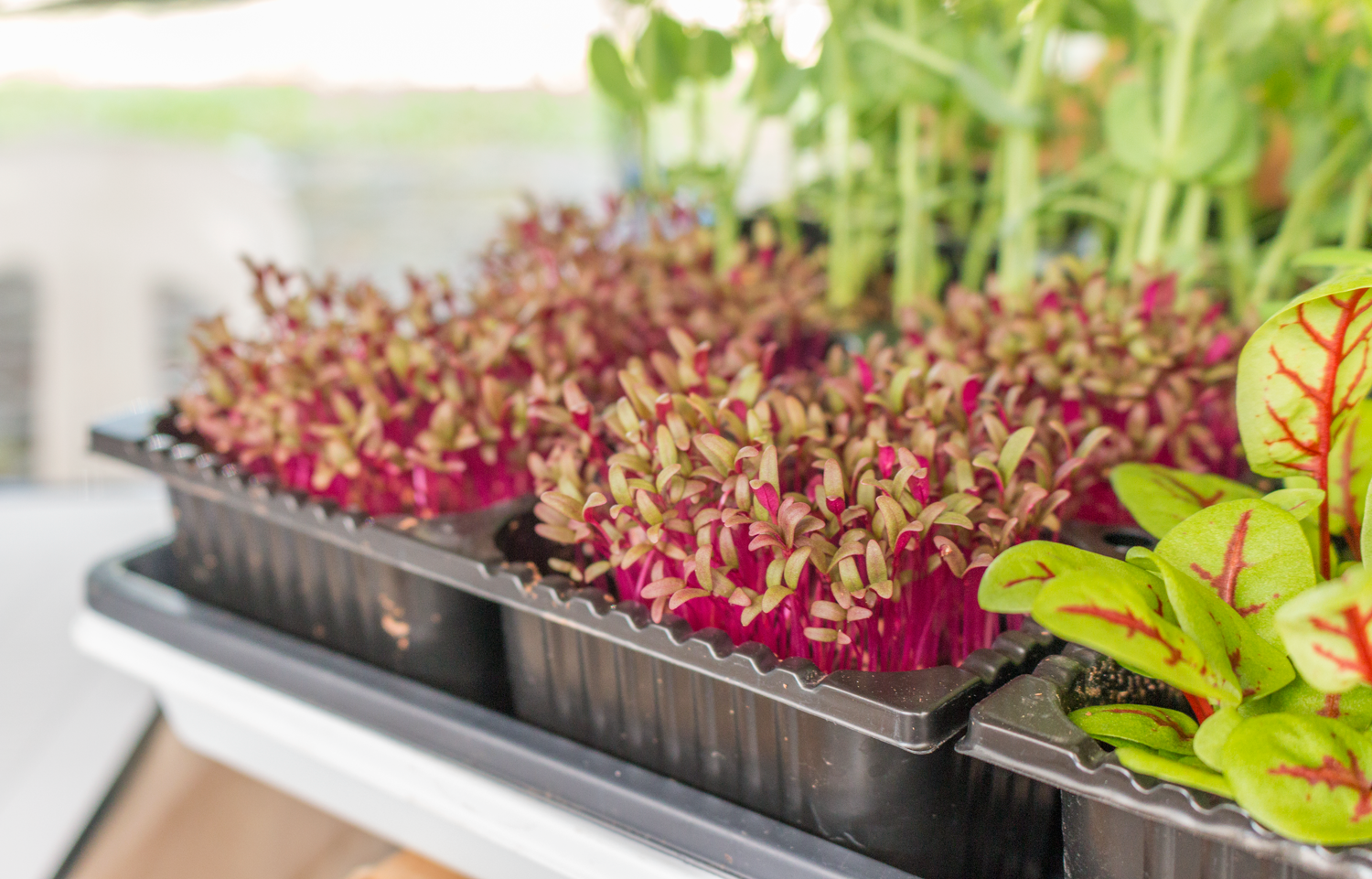 Sprouting Red Amaranth