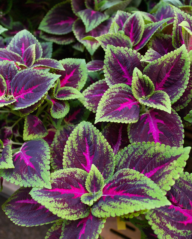 green-and-purple-coleus-leaves.jpg