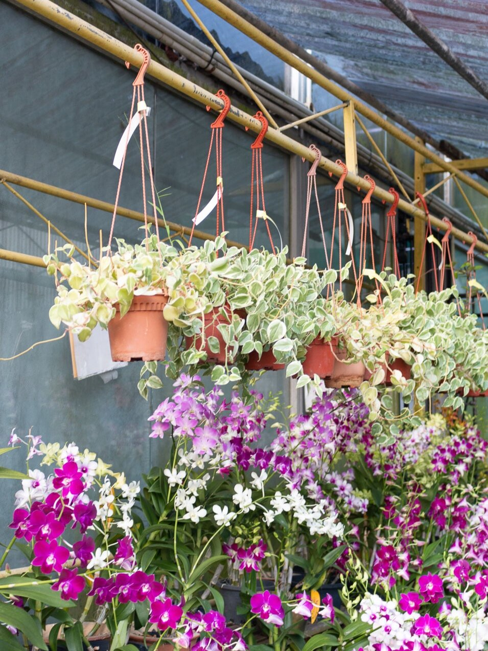 orchids-and-ivy-plants.jpg