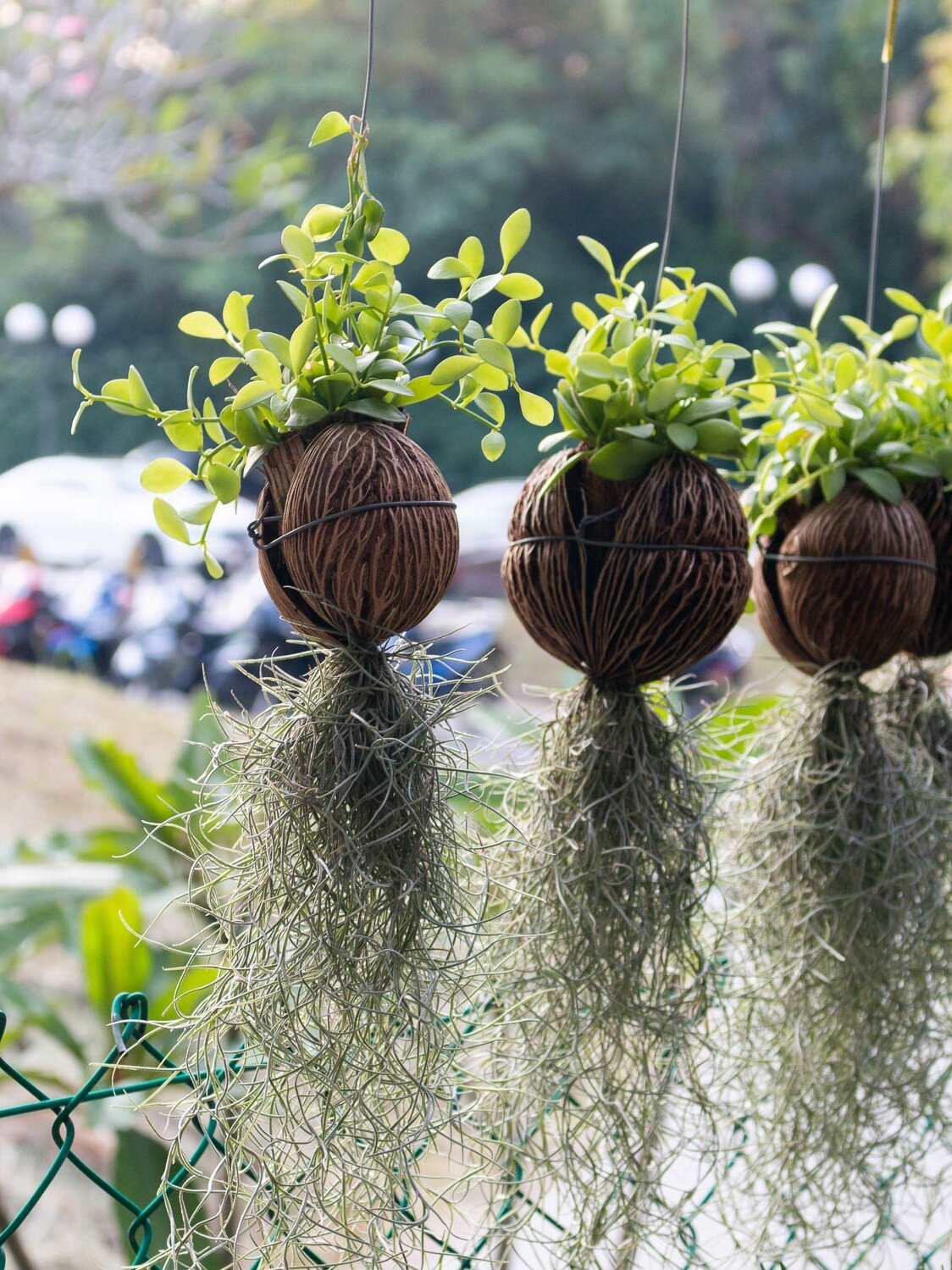 tillandsia-spanish-moss-plant.jpg