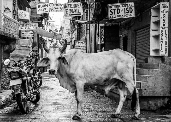 cow+in+India.jpg