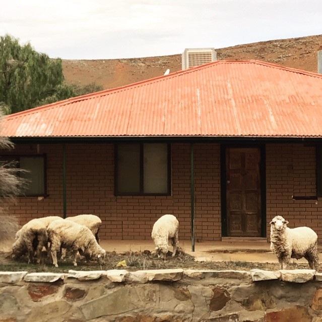 oratunga+sheep+image+Hayley.jpg