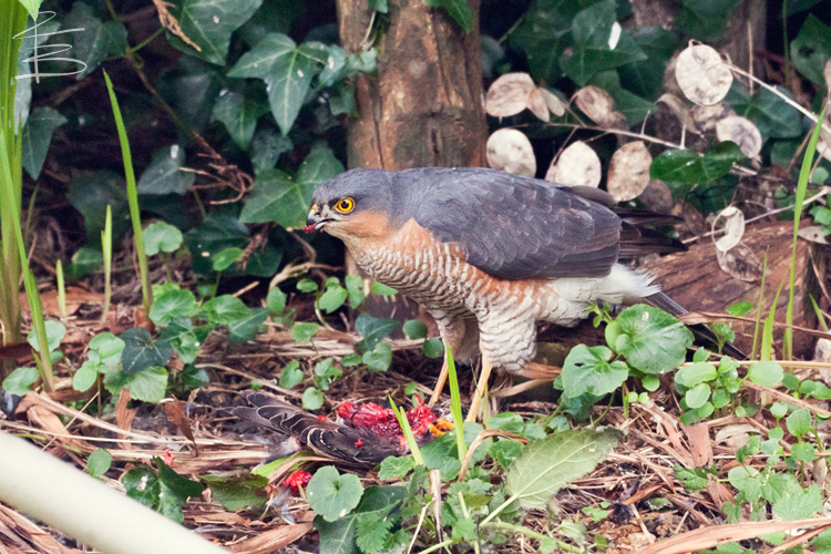 sparrowhawkstarling3750.jpg