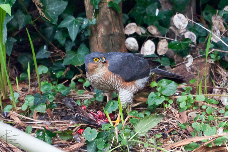 sparrowhawkstarling4750.jpg
