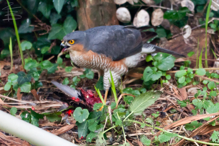 sparrowhawkstarling5750.jpg