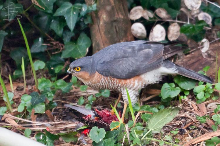 sparrowhawkstarling7750.jpg