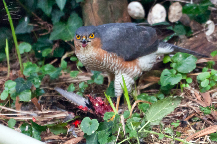 sparrowhawkstarling6750.jpg