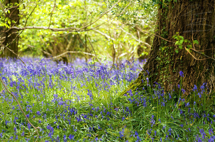 bluebelltreethirds14750.jpg