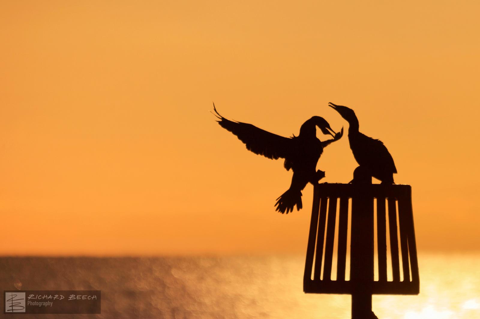 Cormorant Couple