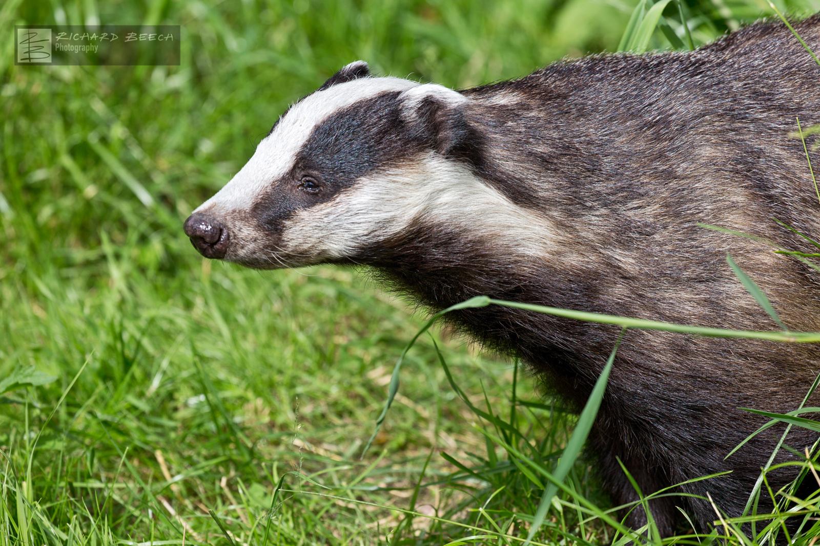 Badger Waking Up