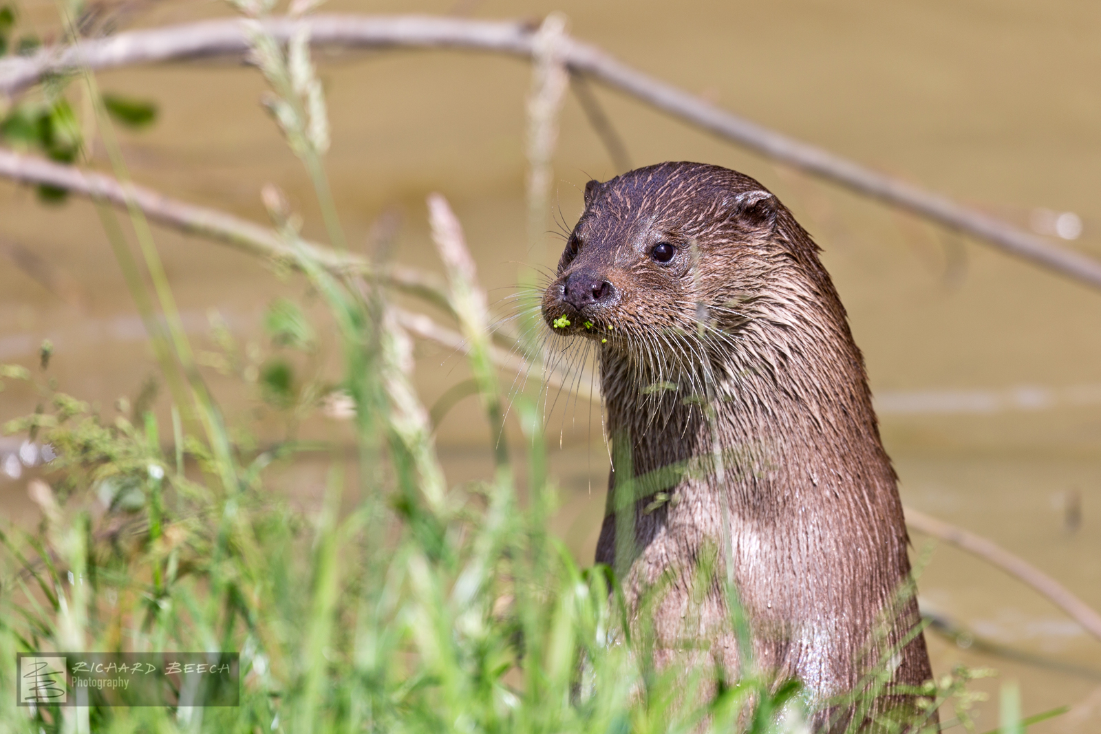 Wild Otter in River
