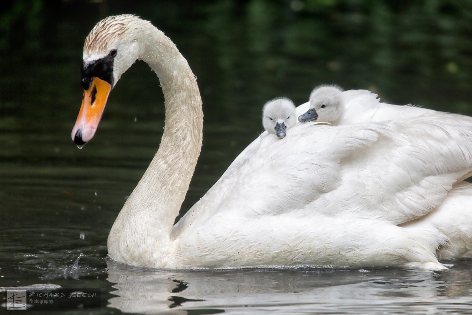 Swan carrying Cygnets