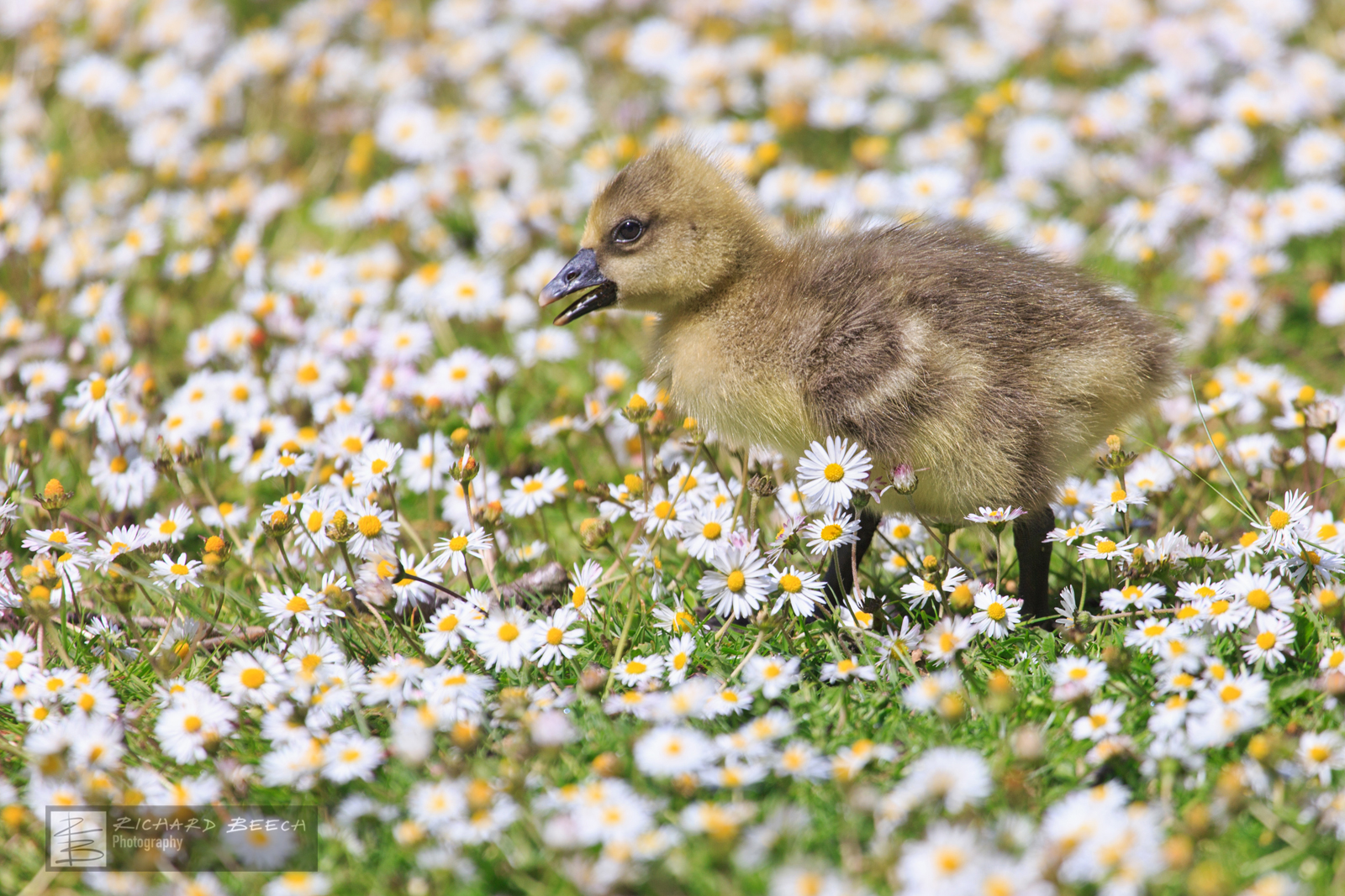 Gosling in the Daisies
