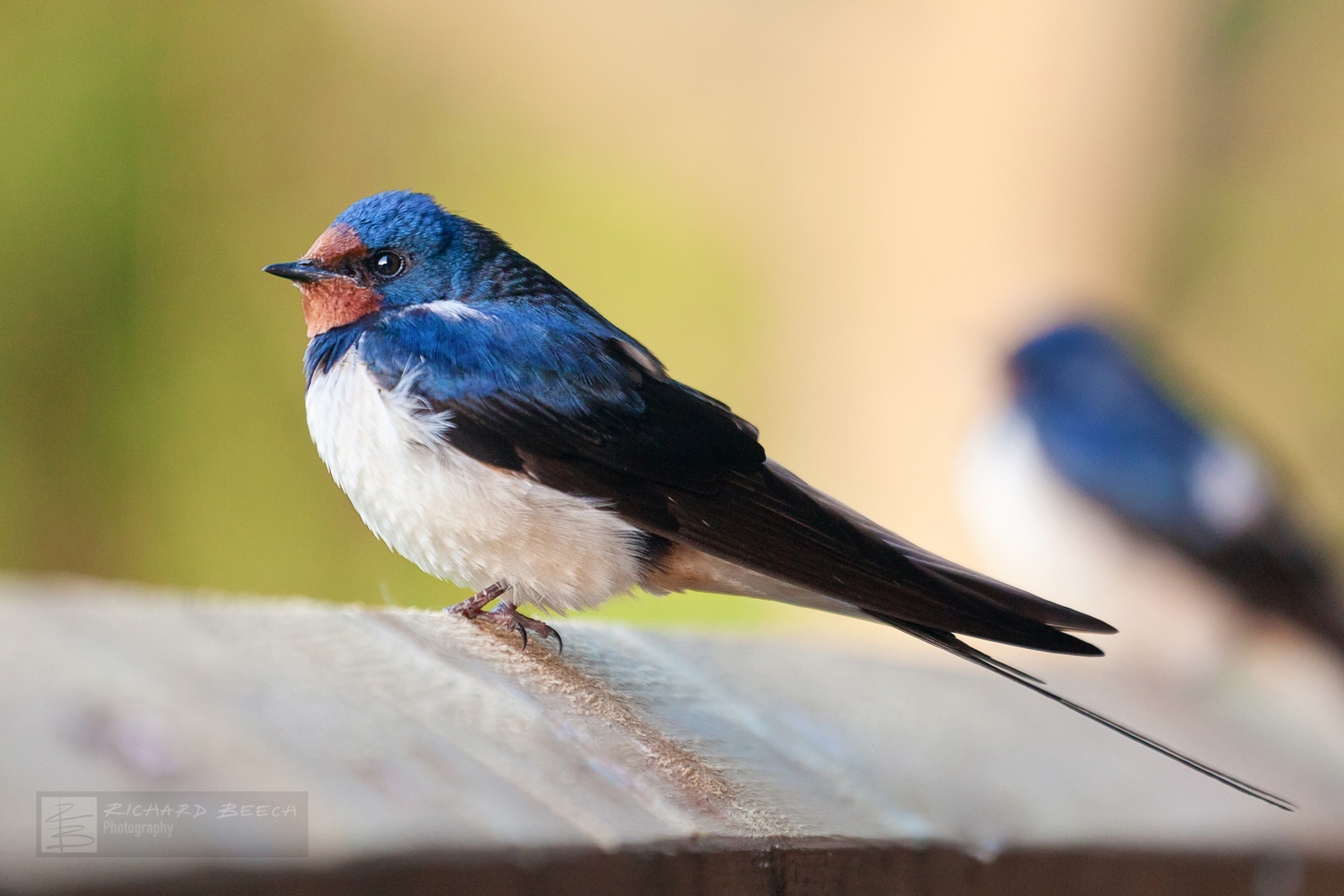Swallows on Fence