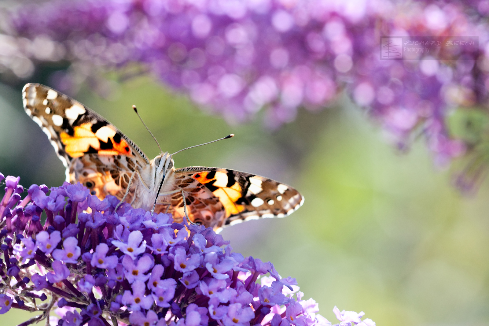 Painted Lady Bokeh