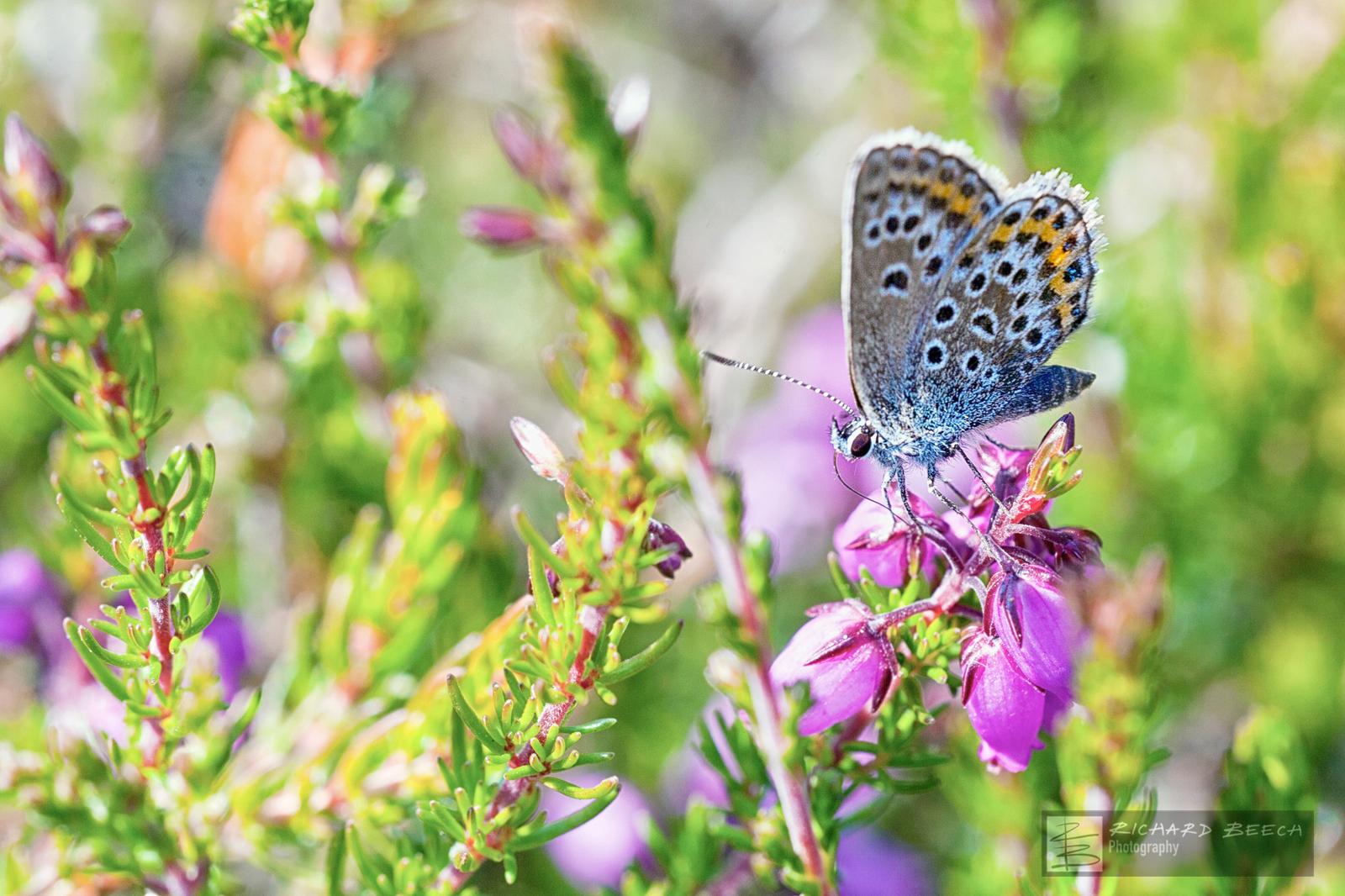 Silver-Studded Blue on Heathland
