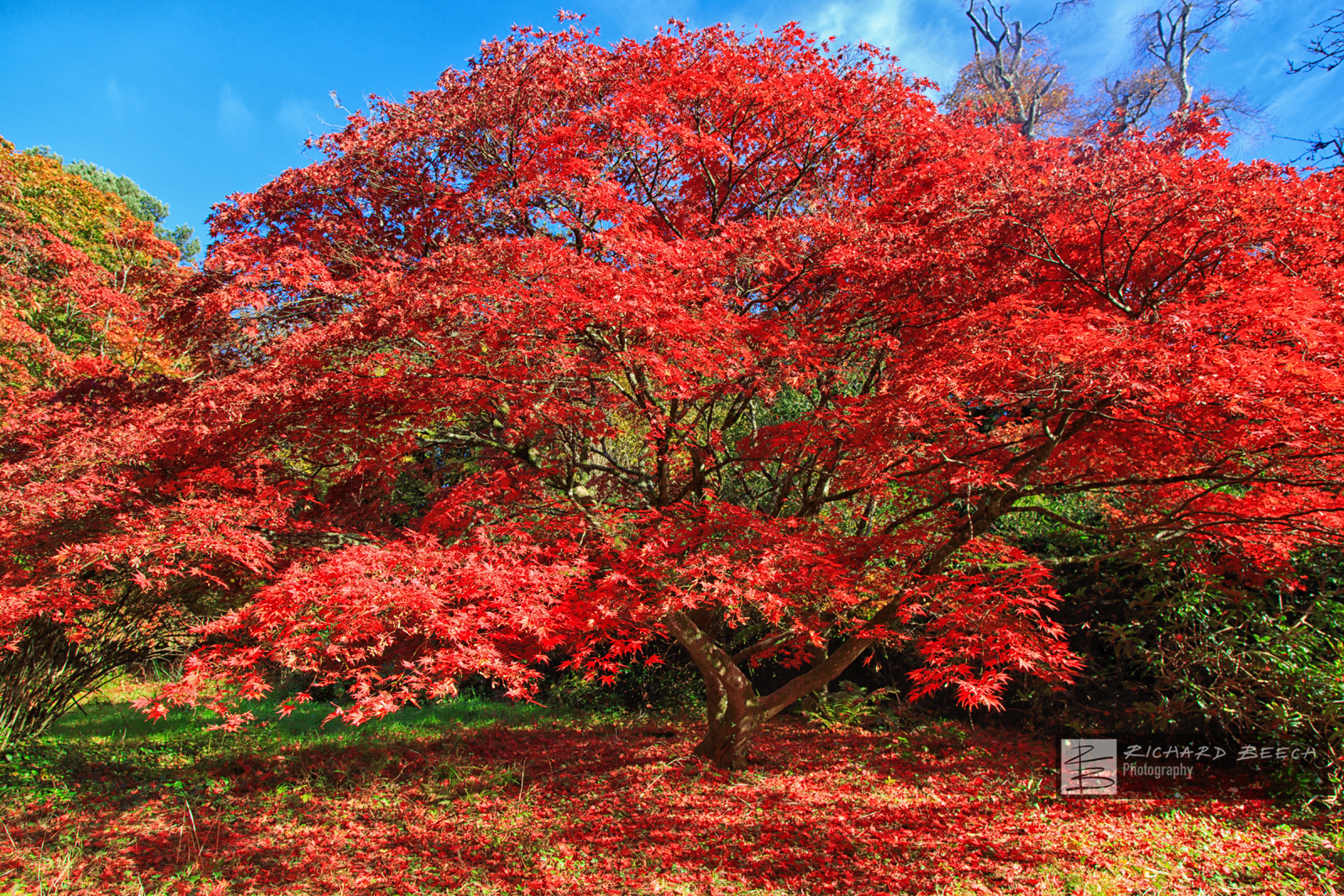 Red Tree at Minterne
