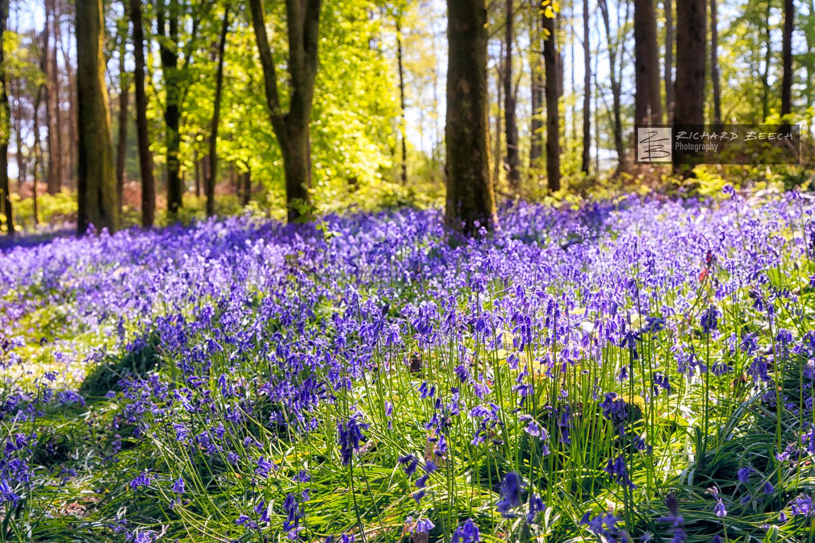 Bluebells Sunlight