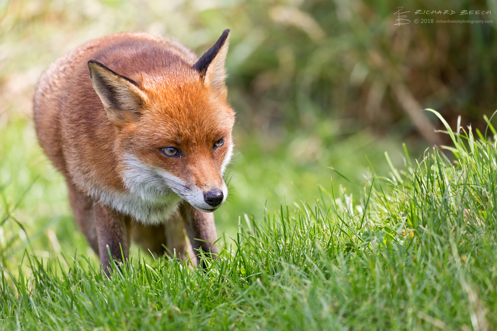 Red Fox Prowl
