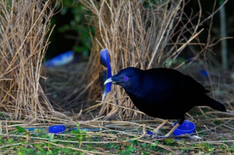 Satin Bower Bird