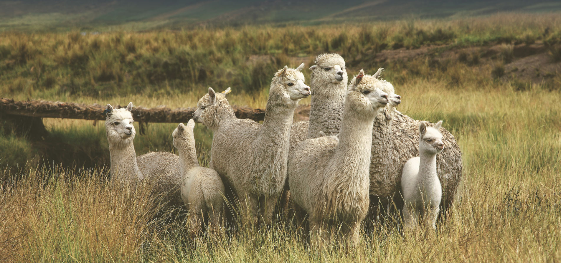 Alpaca — Trade Commission of Peru in the Netherlands